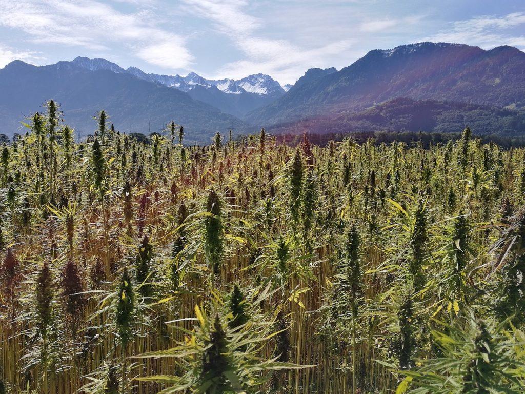 Hemp vs Marijuana - Origins