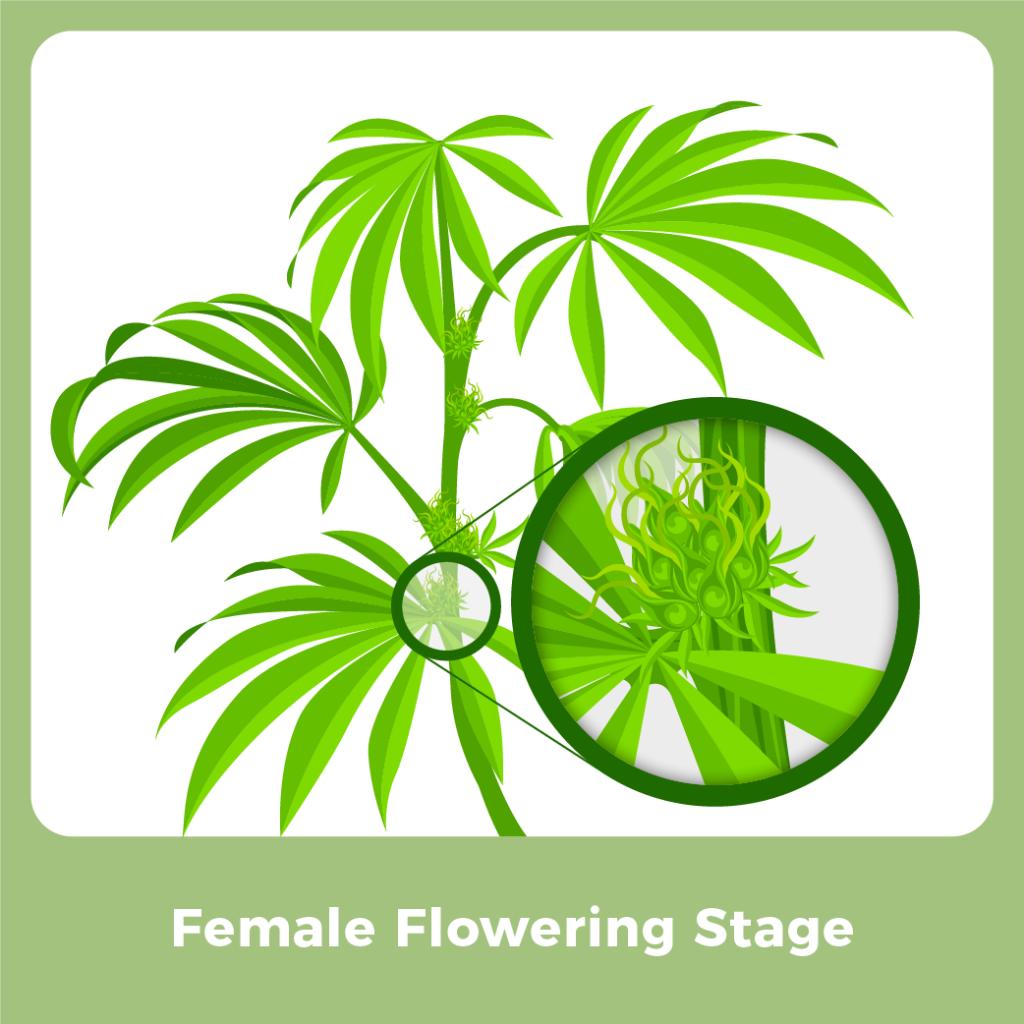 Marijuana Male Plant - Female Flowering Stage