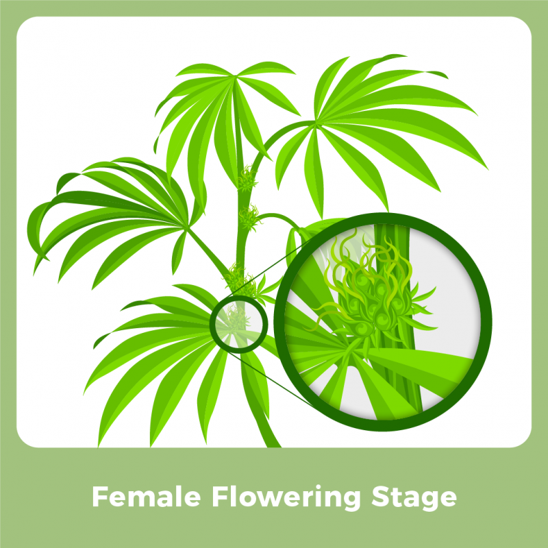 Female Marijuana Plant - Female Flowering Stage