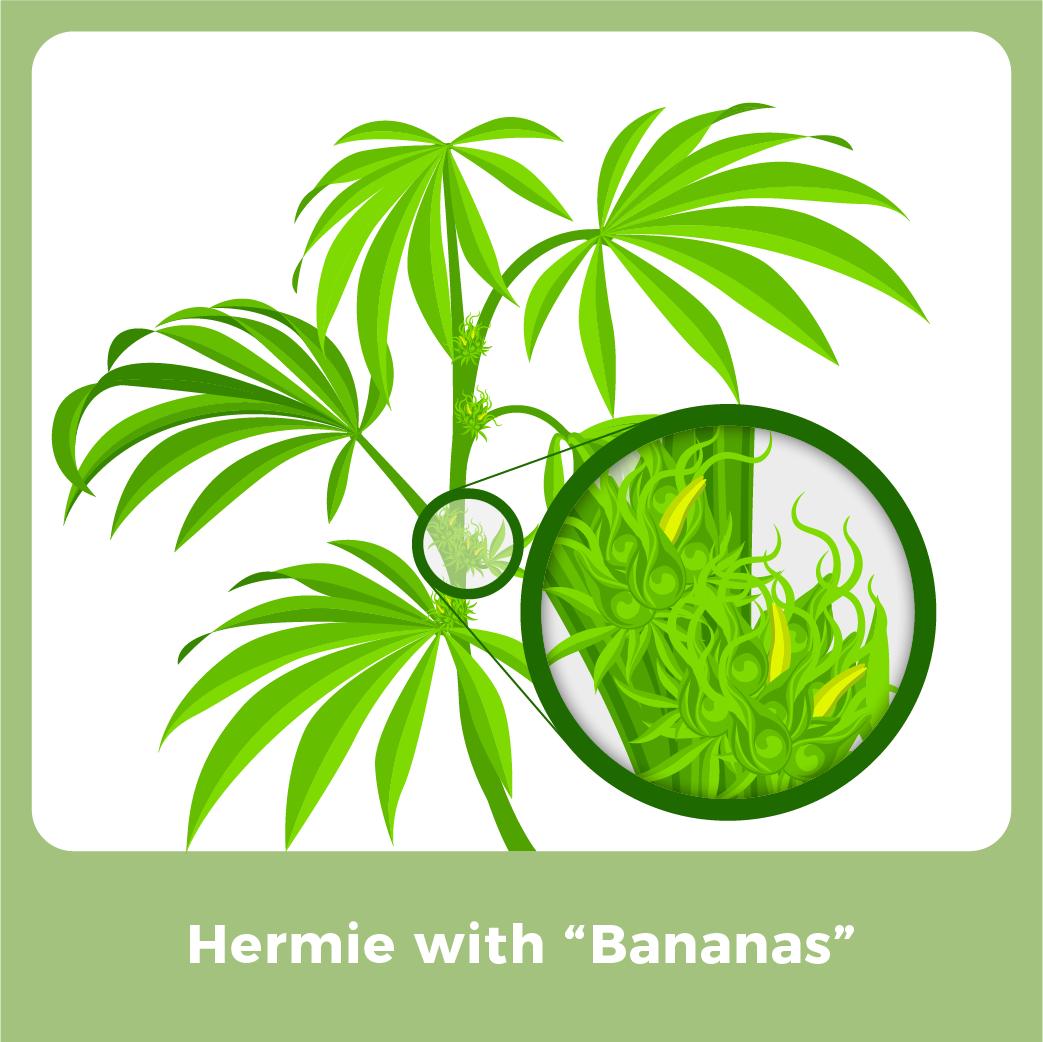 "Male Marijuana Plant - Hermie with ""Bananas"""