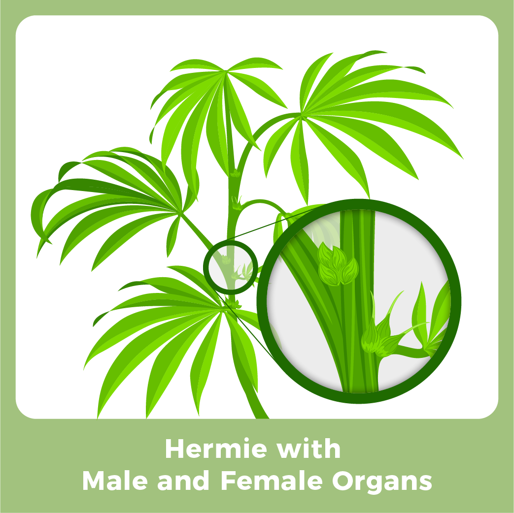 Male Marijuana Plant - Hermie with Male and Female Organs