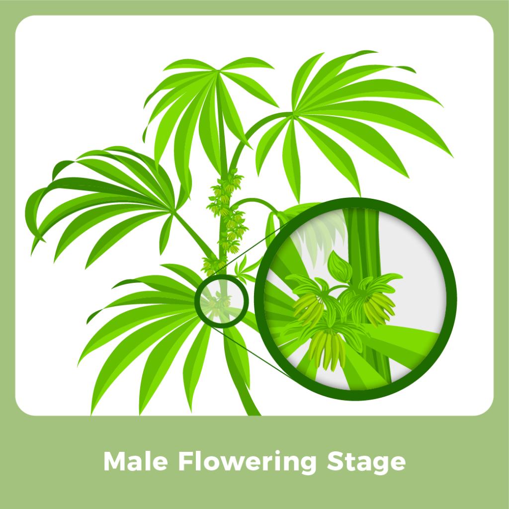 Male Marijuana Plant - Male Flowering Stage