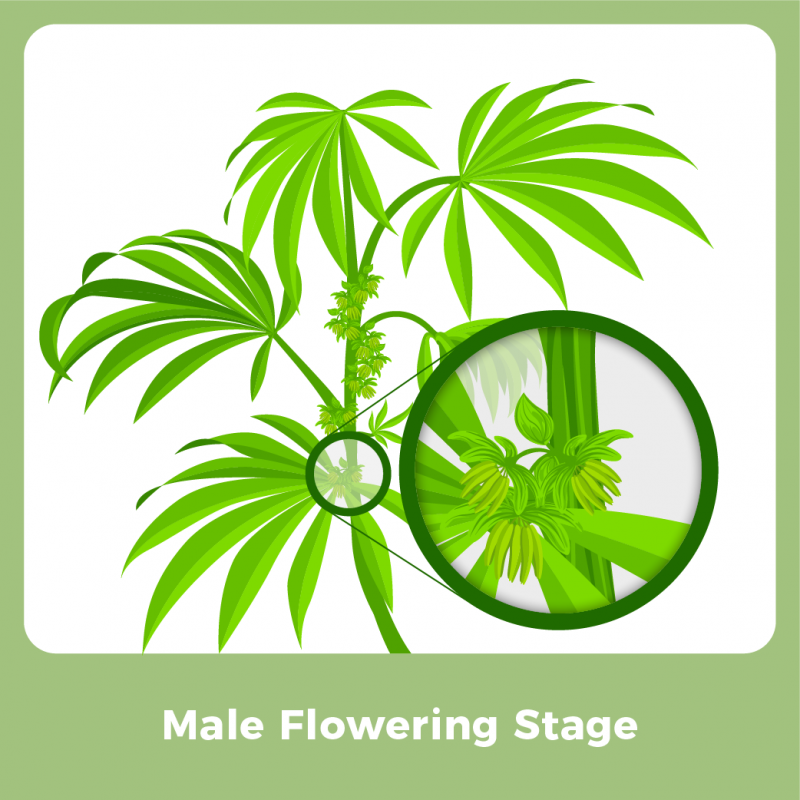 Male Marijuana Plant - Male Flowering Stage