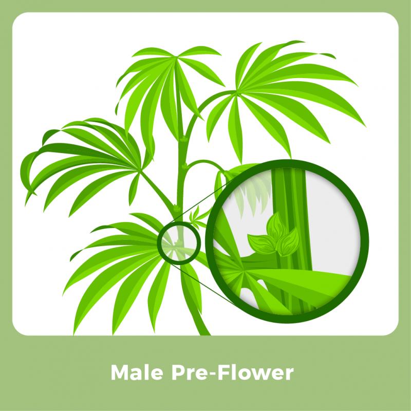 Male Marijuana Plant - Male Pre-Flower
