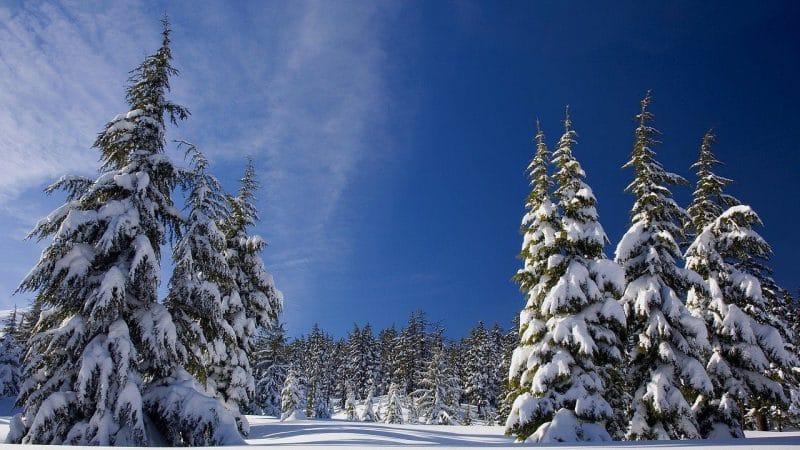 Lifestyle News - Christmas trees
