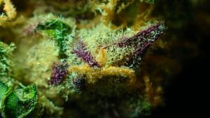 Which Is the Most Potent, Strongest Weed on the Planet?