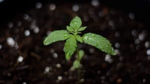 Groundbreaking: Cannabis Clears Toxic Soils