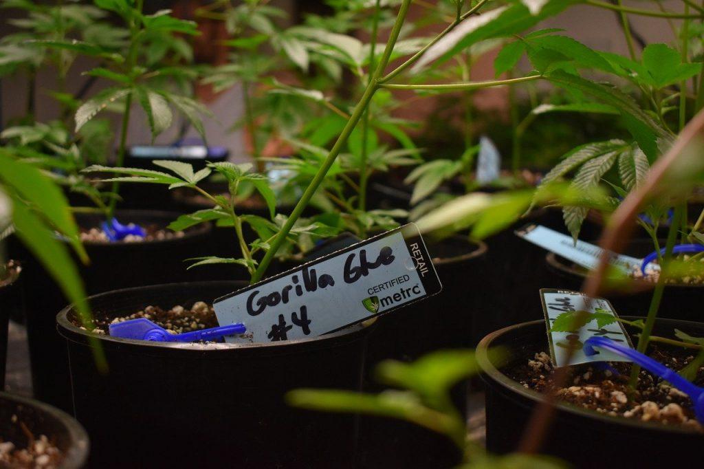 Strongest Weed - Gorilla Glue