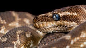 Python Found on Illicit Plantation in Far North Queensland