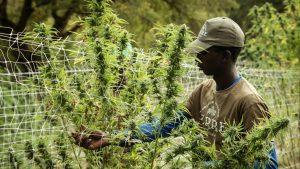 Cannabis Jobs in High Demand Amid the COVID-19 Pandemic