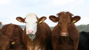 Cattle's Hemp Meal—Yay or Nay? —A $200K Question