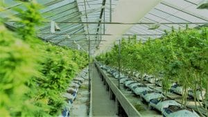 DEA Opens Research-Grade Pot Production to More Than One