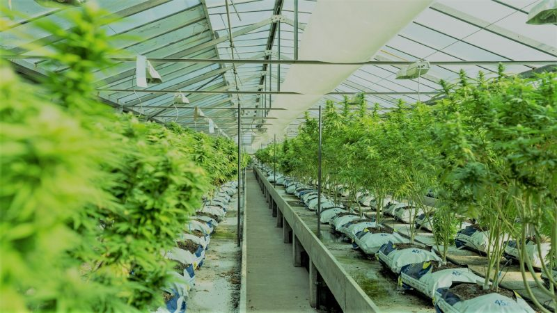 Politics News - DEA Opens Research-Grade Pot Production to More Than One