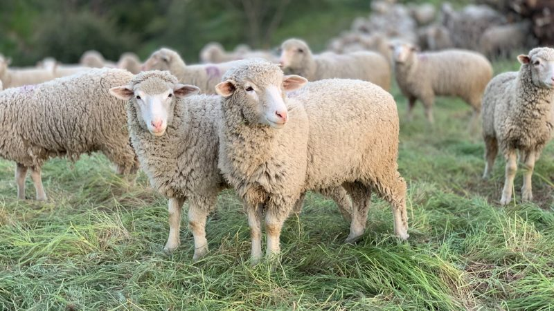 Industry News - Australian Study Shows: Hemp-Fed Sheep Give Bigger Yields!