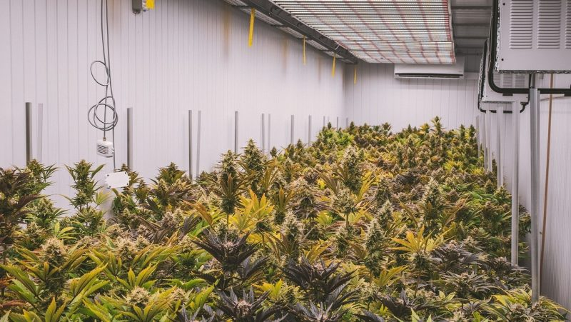 Industry News - 62 Tons of Weed Found in an Illicit Farm in Douglas County